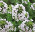 スミレの受難とカニの花