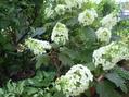 カシワバアジサイが咲いてきました