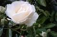 つるバラが咲きはじめました&クジャクサボテン