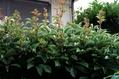 今朝の庭(葉)