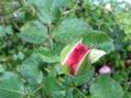 2番花の蕾