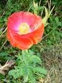 岡の上ではないけどヒナゲシの花