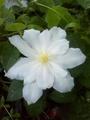 雨だけど 今日の花