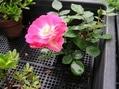 ミニ盆栽 バラ