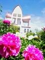 聖ヨハネ教会のお庭の芍薬