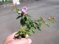 咲きました。ミニ盆栽
