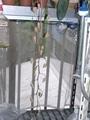ゴンゴラの花芽