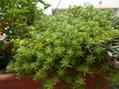 球根ベゴニア咲きました