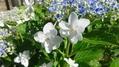 ほぼ最終ー三種の紫陽花