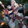 リヴィダスの斑入り花