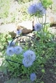 少し珍しい青い花