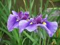 しょうぶ園の花で ⑤終