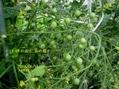 ミニトマトは大賑わい