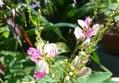 萩と毎朝見てます硬い蕾のタカネバラ