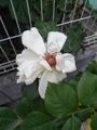 バラの二番花まつりが始まりそう