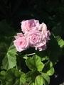 バラ咲きゼラニウム
