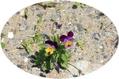 瓦礫の跡地に咲いたスミレ