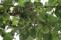 豊後梅の収穫