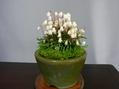 ミニ盆栽と山野草の展示会