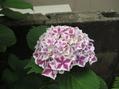 紫陽花たち①