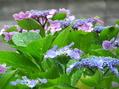紫陽花たち②