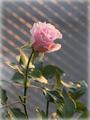 初めてのバラ開花