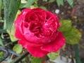 今日の薔薇(^^♪