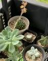 エケベリアの花