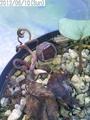 原種シクラメン・ヘデリフォリウム銀葉のタネと蕾