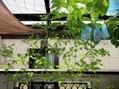 2階のベランダのミニトマト。日照不足です。