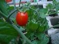 只今土地の改造中・トマト