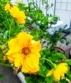 黄色い花⚜️