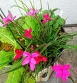 ピンクの花たち🌺①