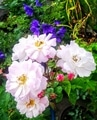 ピンクの花たち🌺②