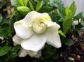 クチナシの花 甘い香りとともに再びの開花