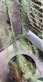 スイスチャード 水草 アスパラ