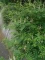 日本の野草21 コマツナギ