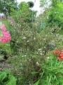 庭:コウチョウゲ(紅丁花) いいですよ