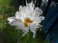 アベルモスクスが咲きました💕