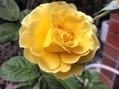 今日のバラ②赤、白、黄色。