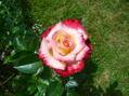今日も暖かでバラが咲いた。