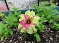 種蒔きっ子ペチュニア