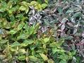 アガパンサスが咲かない