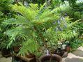わい性ジャカランダ「ブルーブロッサムビューイング」が咲きました
