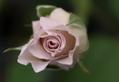 薔薇の花の渦巻きはお好きですか?
