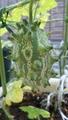 プチ菜園の蔓物3種