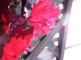 ヒューケラの葉