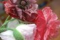 庭の花から…イングリッシュポピー