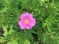高山植物園のバラ