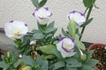 今日のお花たち(サギ草・トルコキキョウ)